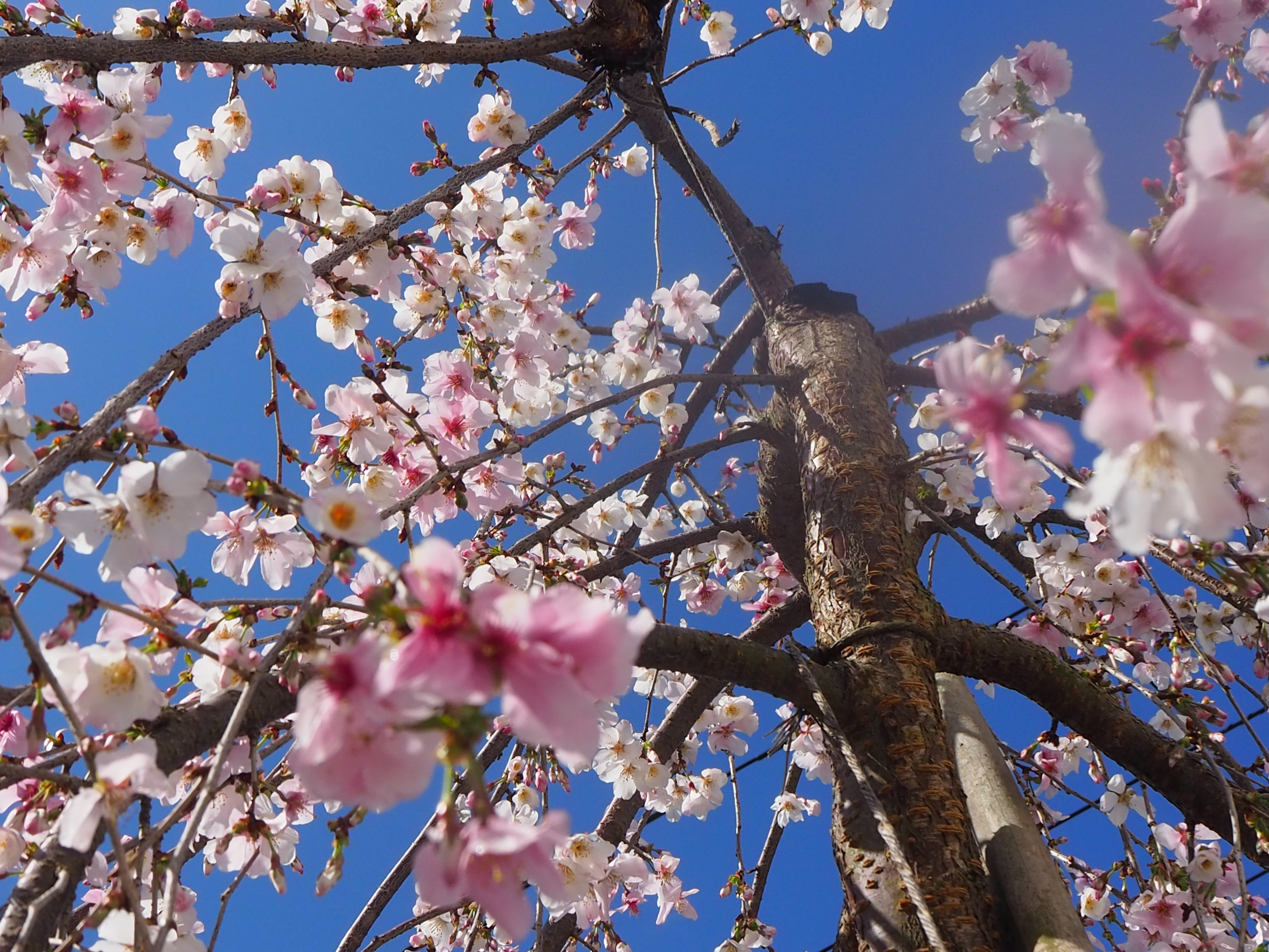 富士枝垂桜の写真